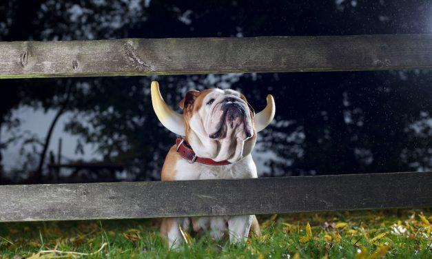 'Bull'dog