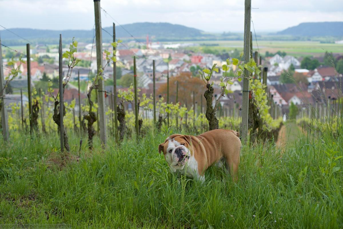 Rudy in a vineyard above Rafz, Switzerland