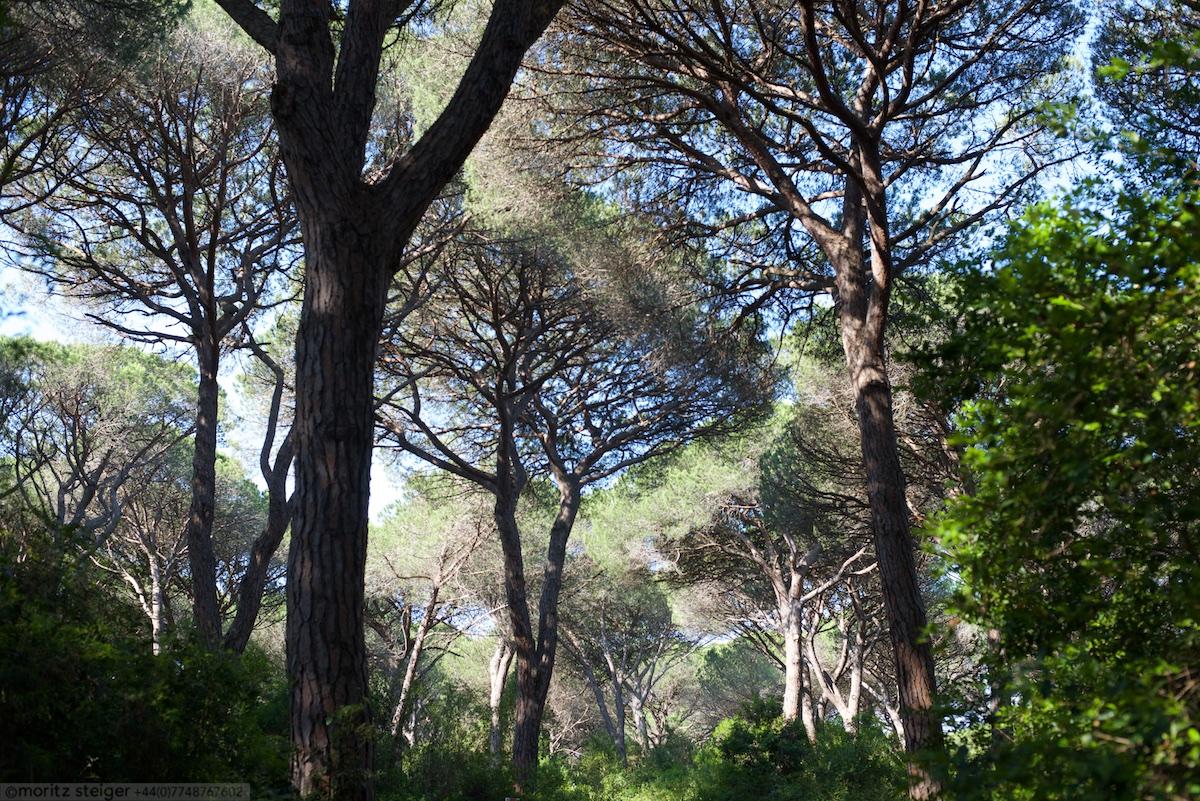 Umbrella pines, Maremma