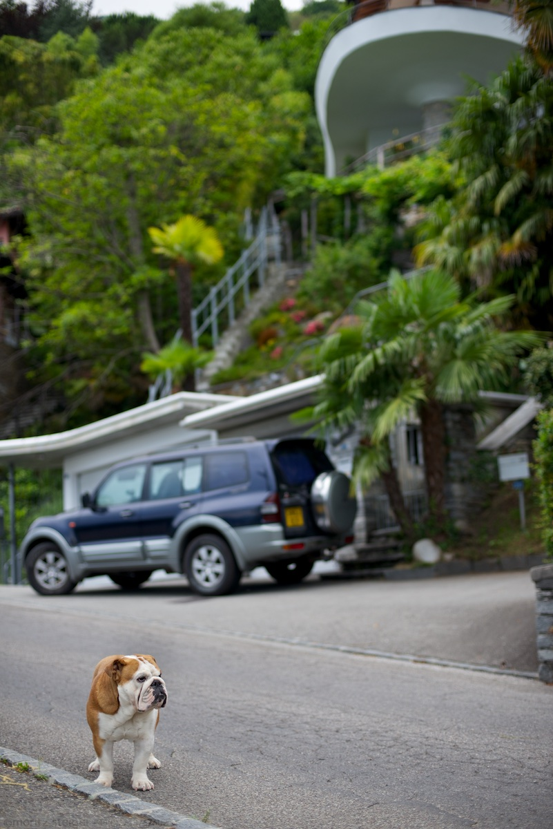 Rudy bulldog in Brissago, Switzerland