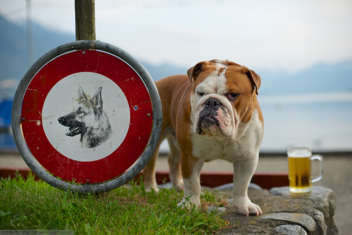 Rudy bulldog, Ticino, Switzerland
