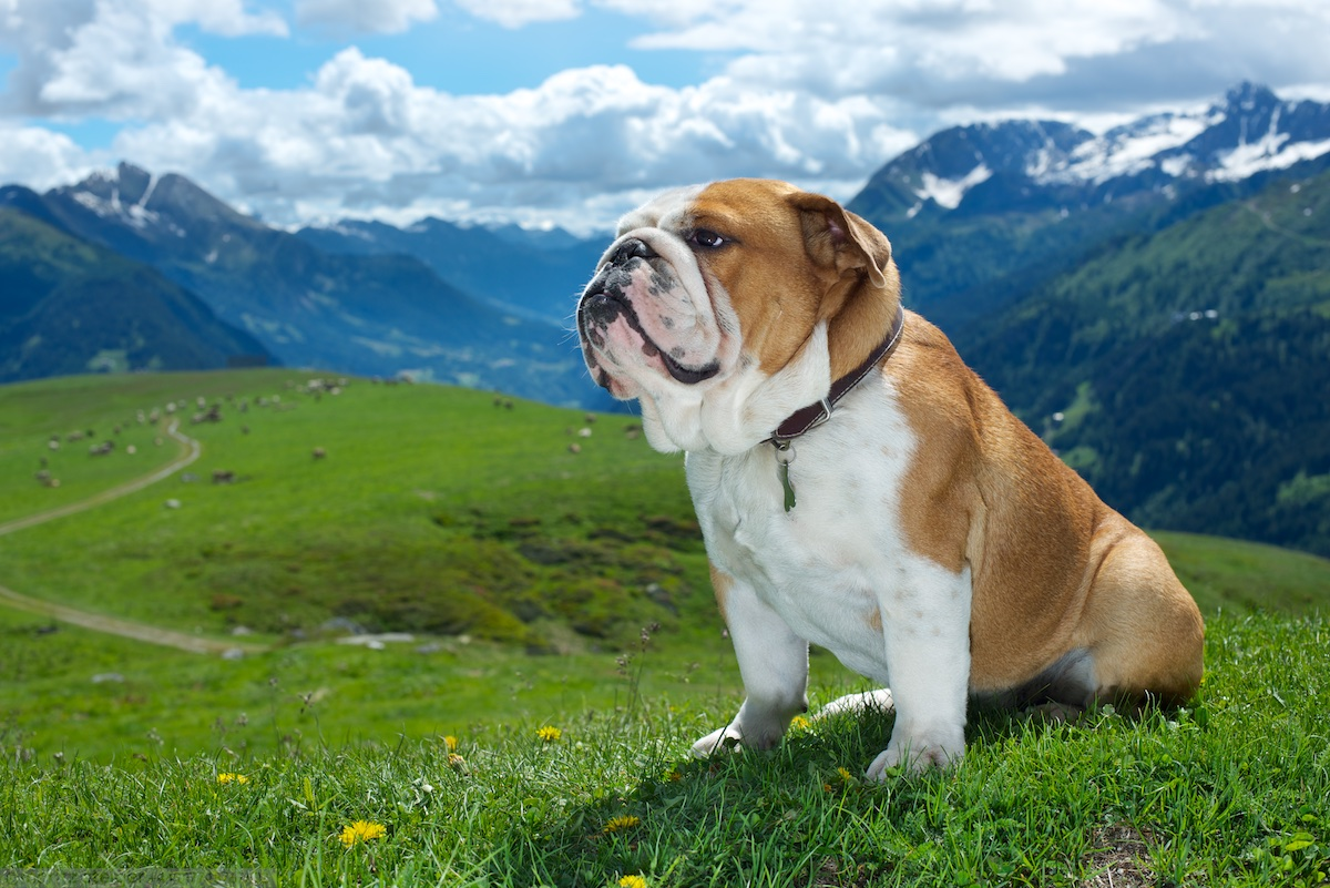 Rudy bulldog in Switzerland, St Gotthard pass