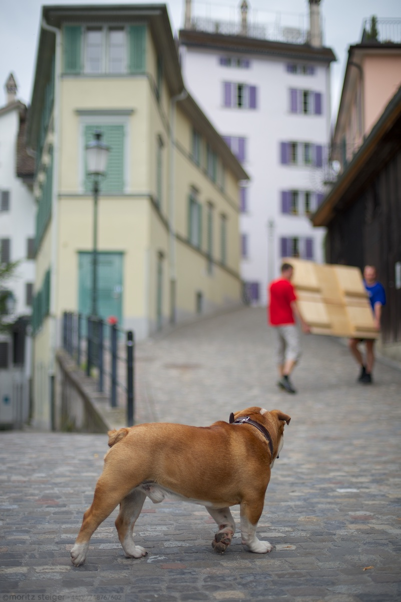 Rudy bulldog in Zurich, Switzerland