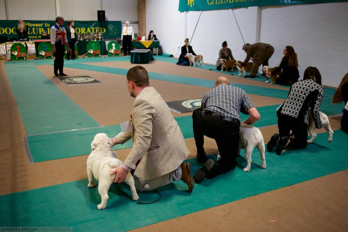 Bulldog championship show
