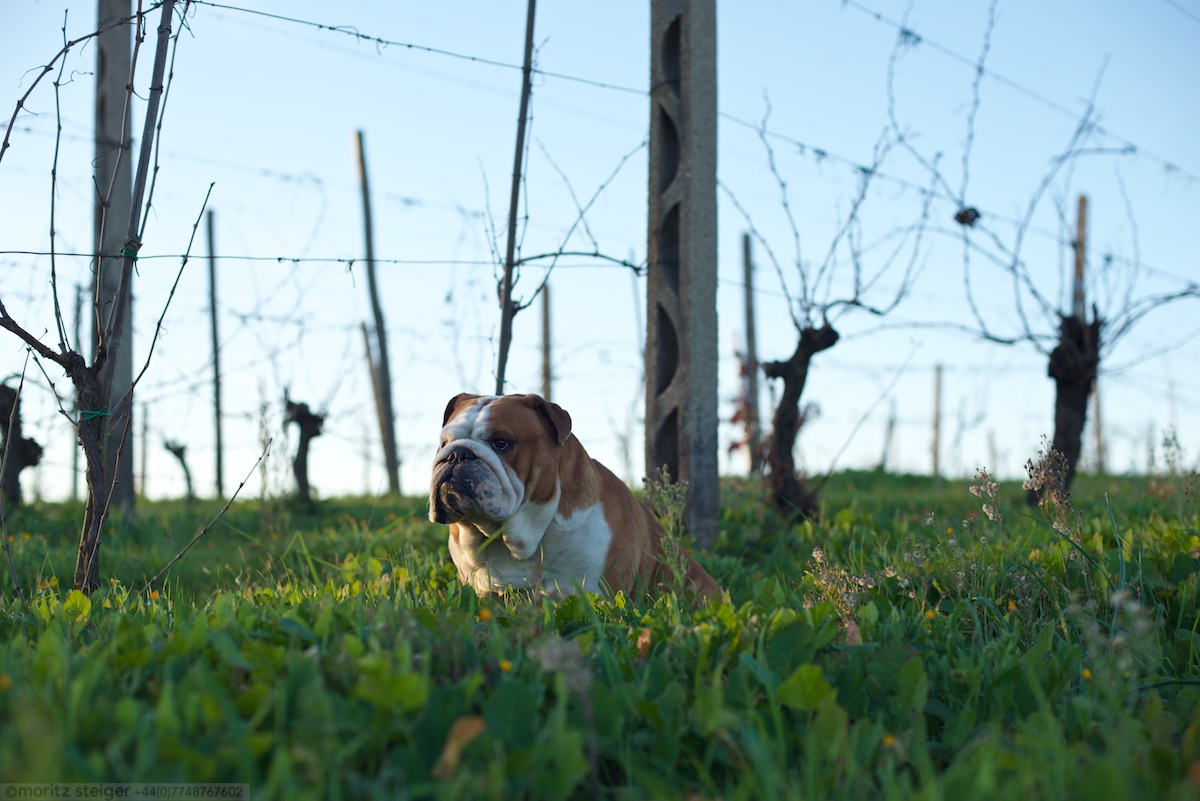 Rudy bulldog at Poggio Piero