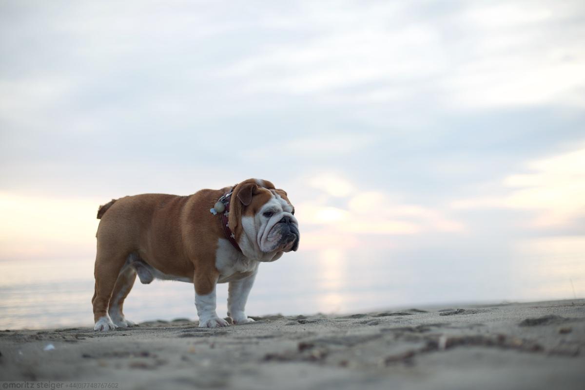 Rudy bulldog on the beach, Castiglione della Pescaia