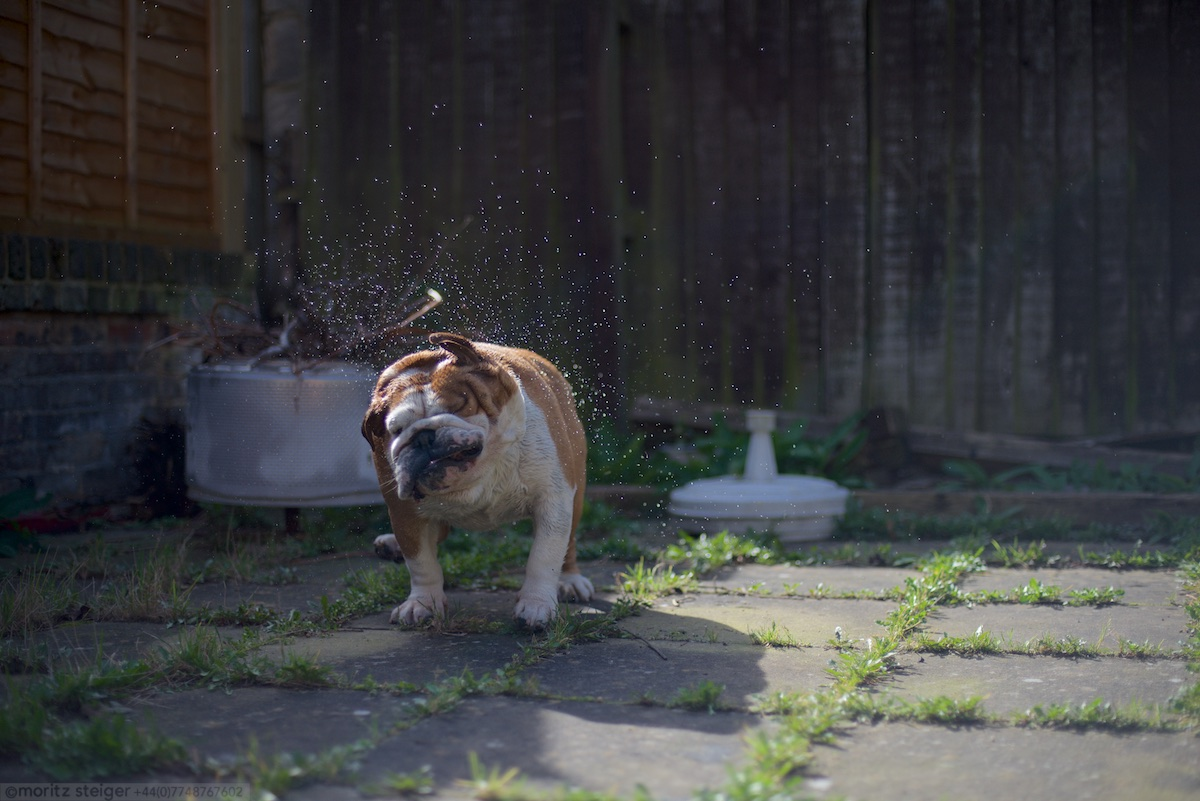 Rudy shaking off after a wash