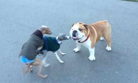 Rudy 'encounters' two Italian greyhounds