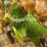 Me doing the grape harvest at Poggio Piero