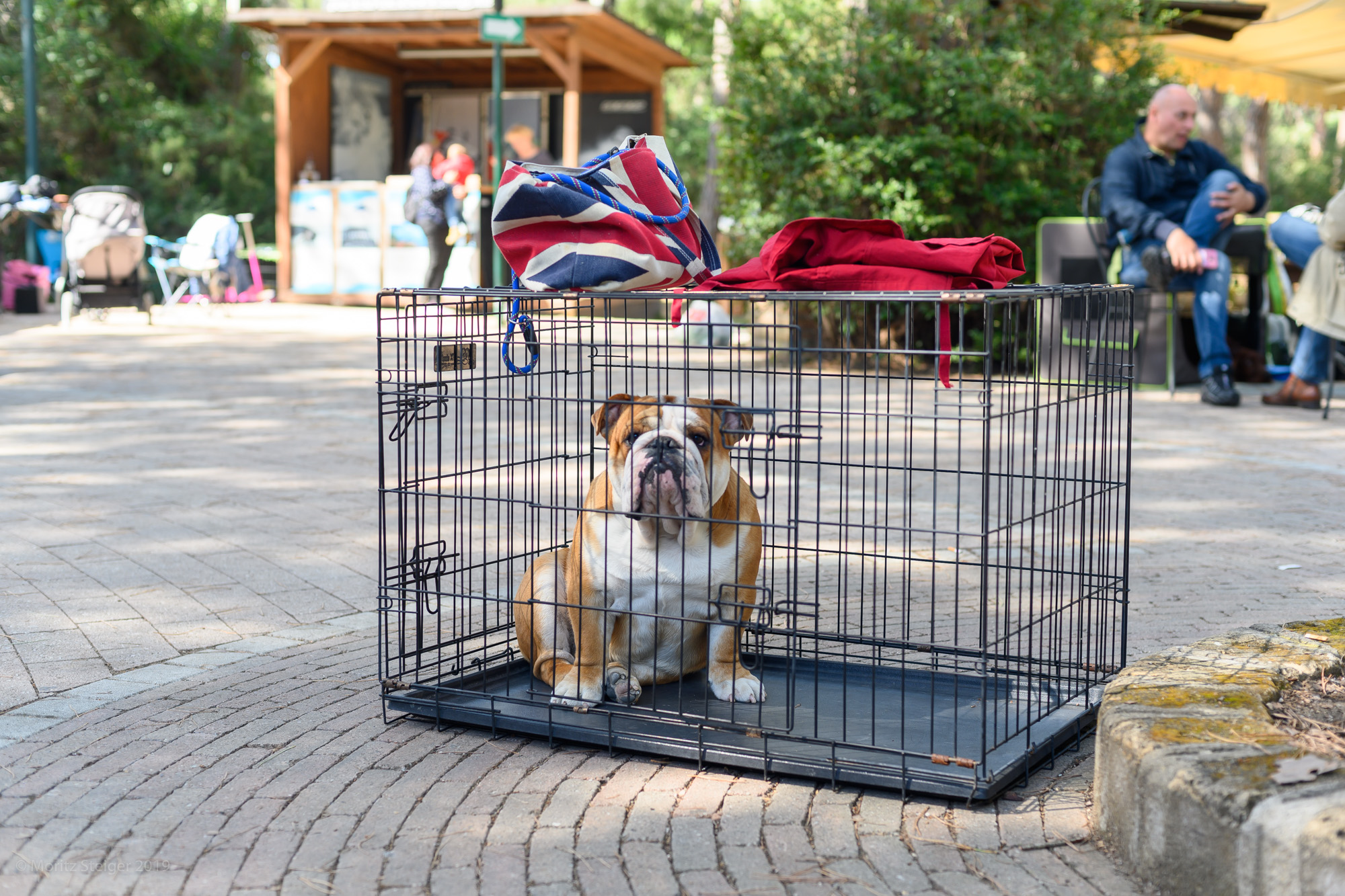 Caged bulldog