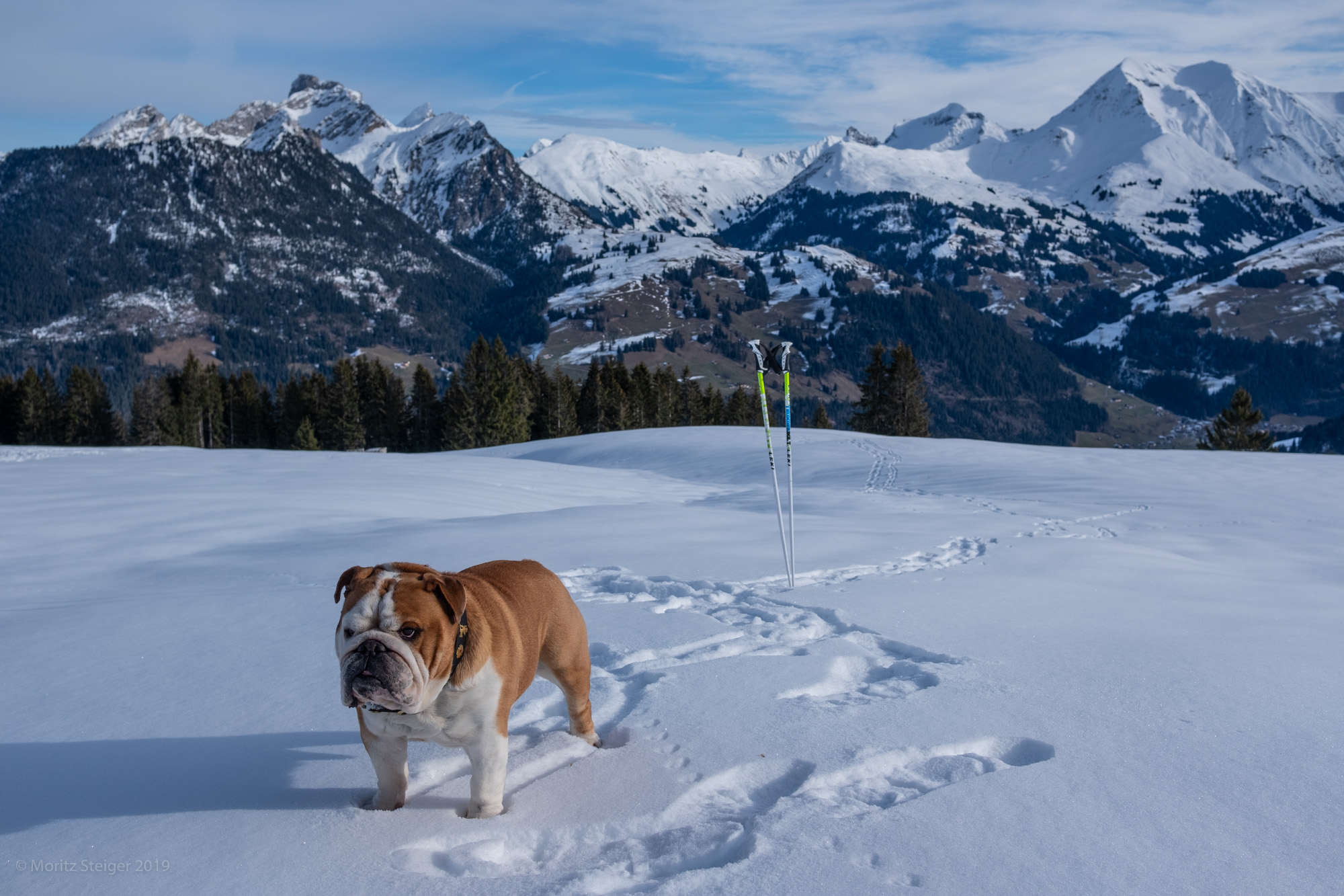 """Are you comin'?"" Rudy bulldog in snow covered mountains, Switzerland"