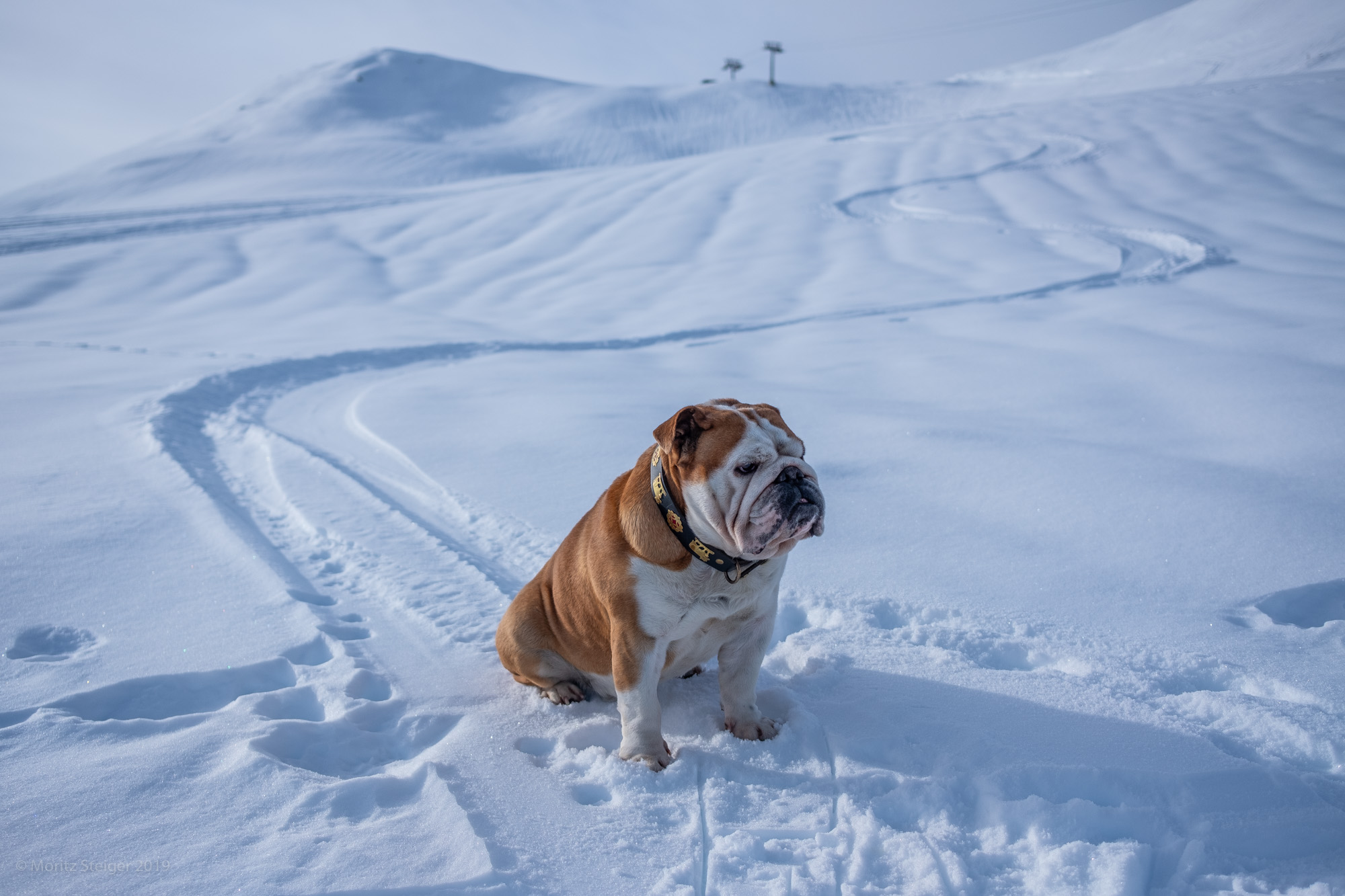 Rudy in snow 'laying trails' in the Swiss mountains.