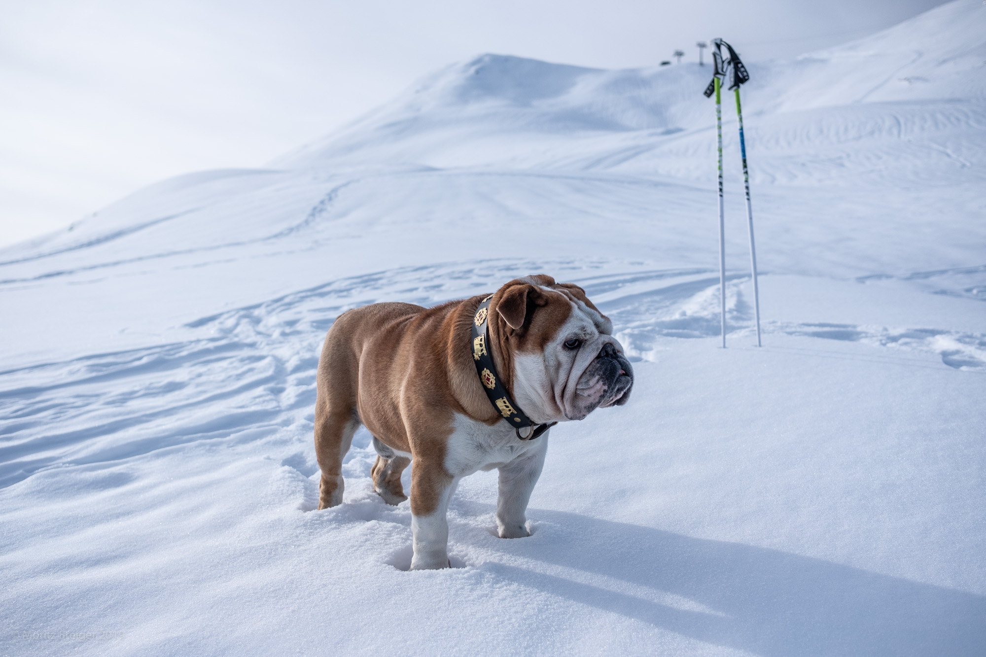 """Where are my ski poles?"" Rudy in snow covered mountains, Switzerland"