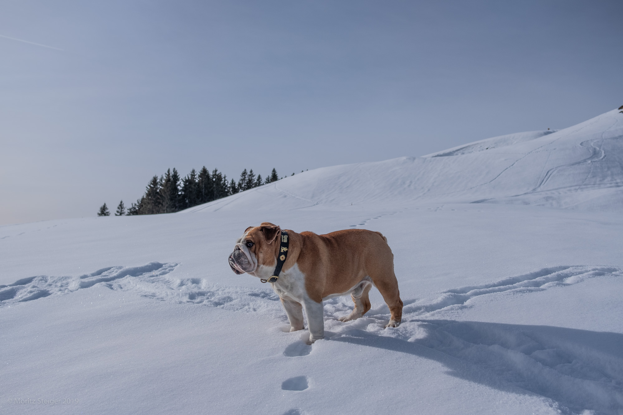 Crossroads, where now? Rudy bulldog in snow